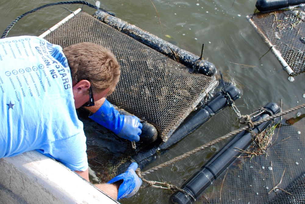 Adam pulling oyster cages out of the water of his oyster farm
