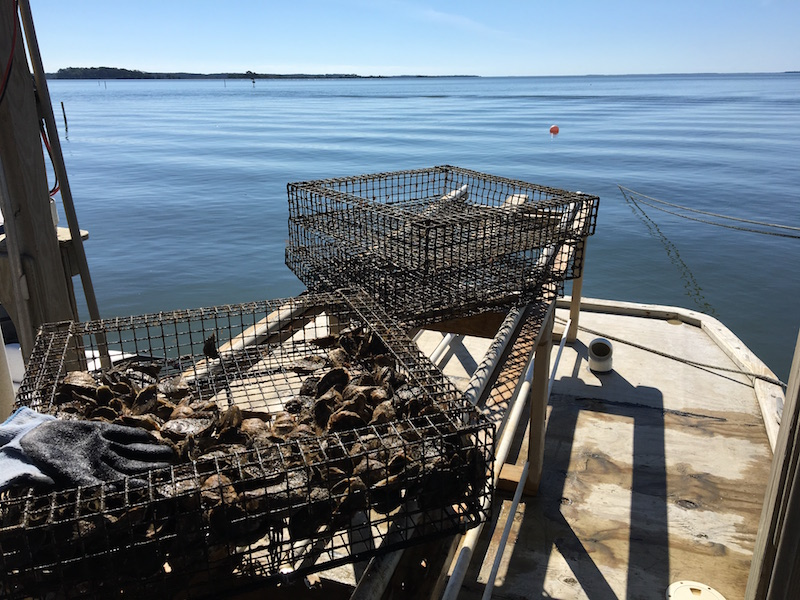 Bell's Reef Oysters in cages at the oyster farm near Otway, NC