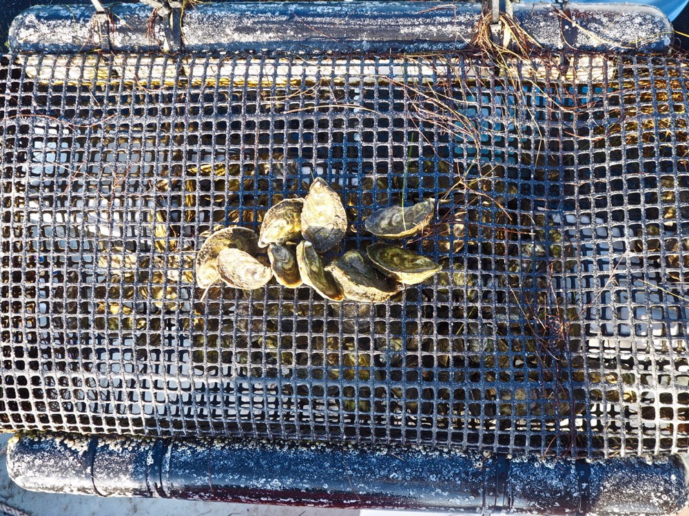 Fletcher's Devil Shoal Oysters