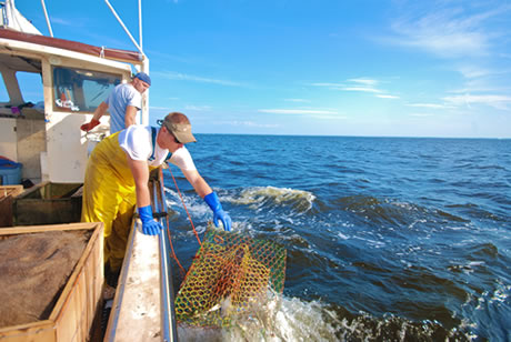 Harvesting NC Blue Crabs