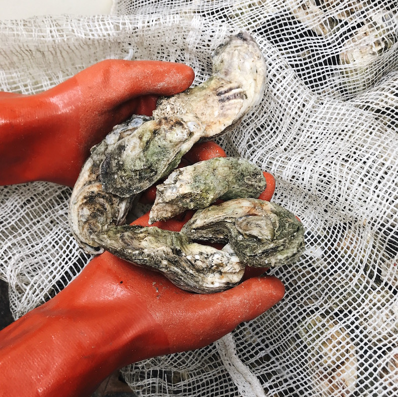 Lawton Point Oysters