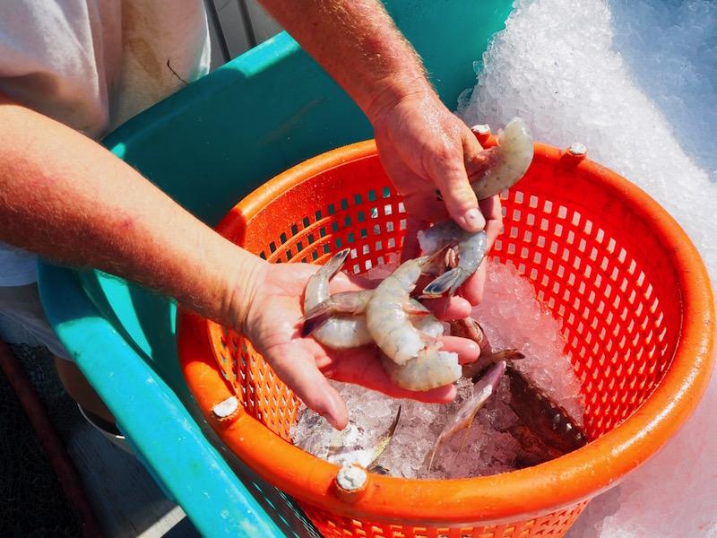 North Carolina shrimp fresh from the coast