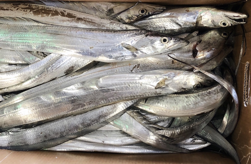 Ribbonfish from NC